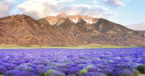 lavenderfield and mountains