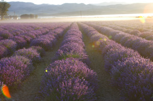 LavenderField Eila