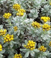 Helichrysum-1